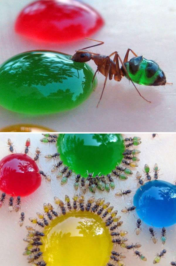 formiche multicolore -