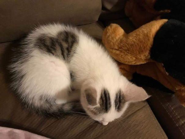 gatto con il pelo a forma di cuore -