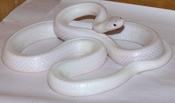 Serpente Bianco
