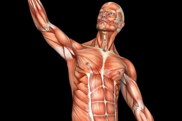 Quanti muscoli ci sono nel corpo umano for Quanti deputati ci sono