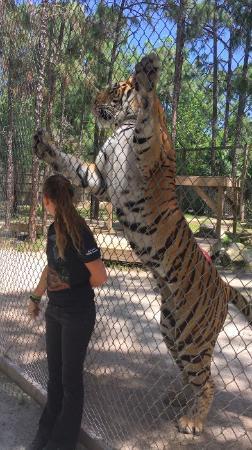 Quanto è alta una tigre? Quanto pesa?